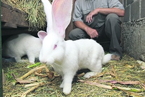 Как заработать на разведении кроликов на мясо?
