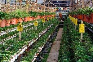 Как выращивать клубнику в теплице целый год?