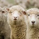 Как заработать на овечьей ферме?